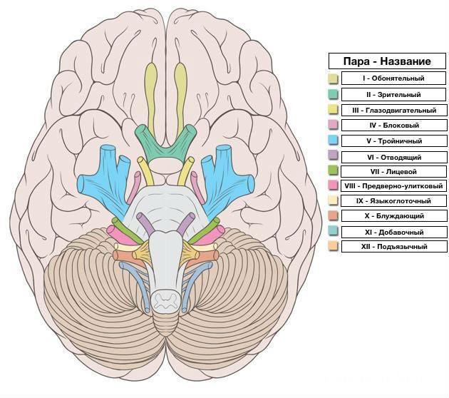 Различные функции краниальных нервов